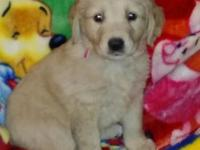 We have a litter of Golden Retriever mix puppies that