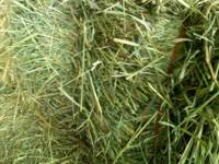Barn stored grass alfalfa hay. Phenomenal quality bales