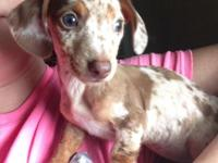 9wk old Mini Piebald Female Dachshund. Has had shots