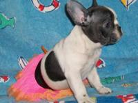 SOLID BLUE NO BRINDLE! Butterballfrenchies.com Sire is