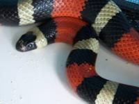 A COLORFUL SNAKE CALL AMERICAN MILKSNAKE. NOTICE THE
