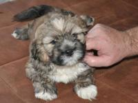 An absolutely beautiful boy! This AKC reg. purebred