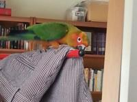 I have a beautiful sun conure baby for sale. It is a