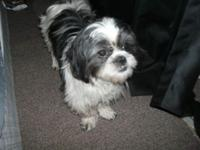 We have a beautiful imperial shih Tzu available to the
