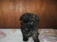 We have one tiny male toy poodle left. He is aca