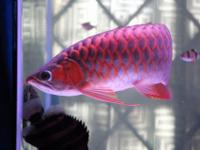 Proudly introducing the Arowana Chili Red,super red,24k