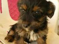 I 'M HAVE 1 FEMALE YORKIE! SHE COMES WITH SHOTS