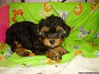 I HAVE THIS FEMALE YORKIE-POO THAT WAS BORN ON 5/4/13.