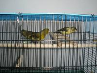 I have a Spanish Timbrado canary trio (one boy and two