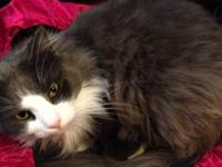 Free-roamer is a 3-5 year old male Persian who was