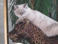 A one of a kind blue eye male snow leopard Bengal