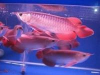 Animal Type: Fishes Breed: Arowanas Below are the