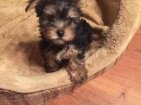 Local Monterey area AKC Babyface Male Yorkie his name