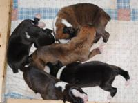 AKC Boxer puppies 2 male?s & 3 female?s , reverse