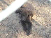 I have 2 Beautiful Chocolate Lab puppies left. They