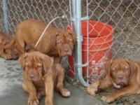 AKC Dogue De Bordeaux puppies all set for brand-new