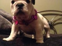 A. K. C. English bulldog female puppy for sale. She is