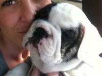 I have 3 english bulldog puppies left for sale