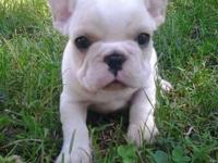 I have 2 male french bulldog young puppies readily
