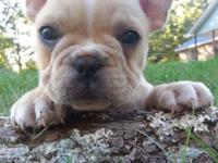 I have two A.K.C. male French Bulldog puppies readily
