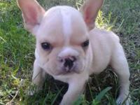 I have one male A.K.C cream French bulldog readily