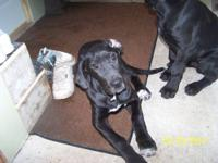 GREAT DANE Gentle Giants AKC, vet chk, shots  Call and