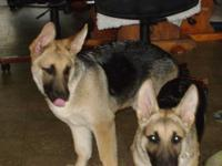 I have a male and female Purebred German Shepherd