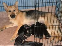AVAILABLE. A.K.C. German Guard puppies. Dob: 4-6-2014.