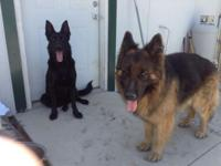 A.K.C German Shepherd long hair puppies males and