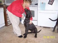 GREAT DANE Gentle Giants AKC, vet chk, shots  Pups are