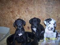 Beautiful A.K.C Great Dane pups born on 1-23-12 only 4