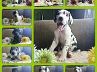 I have 10, 8 week old Great Dane puppies.. They have