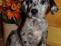 A.K.C. litter of Great Danes looking for there forever