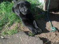 A.K.C. Labrador retriever puppies. Ready for a home