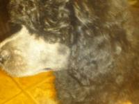 Adorable rare blue phantom poodle babies.(AKC),8 wks