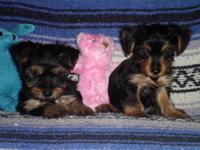 AKC reg American Cocker Spaniel puppy. This little guy