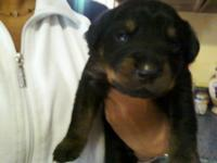 my puppies are a.k.c.rottweiler I have males& females
