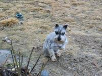 BEAUTIFUL SMALL FEMALE SILVER SCHNAUZER 11 MONTHS OLD