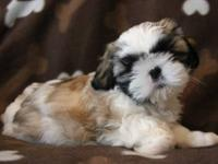 Shih-Tzu puppies for sale in Ohio. A.K.C. Purebred