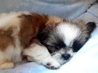 Shih-Tzu Puppy - Imperial A.K.C. Registered with
