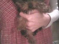 A.K.C. TINY TEACUP ADULT MALE YORKIE,WEIGHS 2.9
