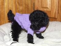 I have one black female toy poodle puppy left with