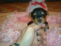 There are simply 2 girls left in this litter. Sire is