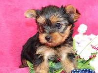 A kc Registered Yorkie Pups for sale TEXT 916