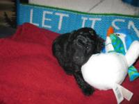 Adorable little Shih/Poo young puppy 1 kid (the child