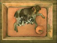 Enfield German Shorthair's Stunning, Select Pup Born