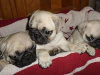 A.P.R.I. pug young puppies, Date of birth 4/29/14, 4