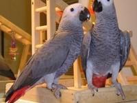 A Pair of Talking African Grey Parrots. We have Pairs