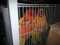 I am selling a proven pair of Sun conure with their 4