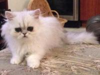 This adorable chinchilla Persian kitten is ready for